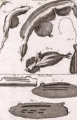 Molluskenwurm - Firola - Helminthologie - 1791 - Tafel  88 - Panckoucke - Sammlung Diderots Enzyklopädie