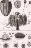 Molluskenwurm - Qualle - Medusa - Helminthologie - 1791 - Tafel  90 - Panckoucke - Sammlung Diderots Enzyklop�die