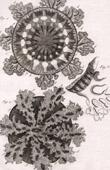 Molluskenwurm - Qualle - Medusa - Helminthologie - 1791 - Tafel  91 - Panckoucke - Sammlung Diderots Enzyklopädie