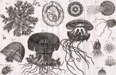 Molluskenwurm - Qualle - Medusa - Helminthologie - 1791 - Tafel  92 - Panckoucke - Sammlung Diderots Enzyklop�die