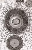 Molluskenwurm - Qualle - Medusa - Helminthologie - 1791 - Tafel  95 - Panckoucke - Sammlung Diderots Enzyklop�die