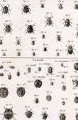 Insect - Entomology - 1797 - Plate 242 - Panckoucke - Collection of the Diderot's Encyclop�die