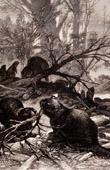 Mammals - Beaver - Castor Fiber