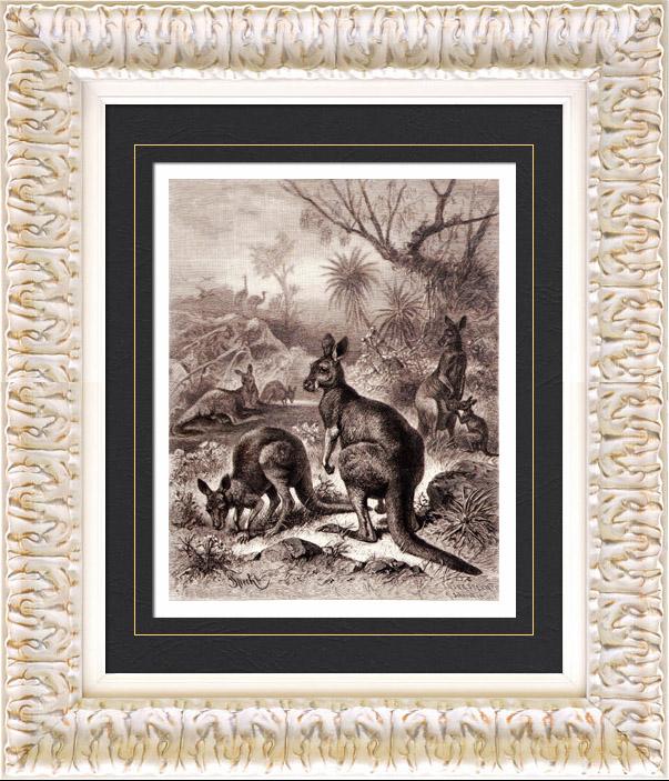 Antique Prints & Drawings   Mammals - Eastern Grey Kangaroo - Macropus giganteus   Wood engraving   1884