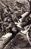 Mammals - Java Monkey - Cynomolgus