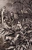 Mammals - Green monkey - Cercopithecus sabaeus