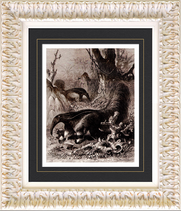 Gravures Anciennes & Dessins   Mammifères - Tamanoir - Fourmilier géant (Myrmecophaga jubata)    Gravure sur bois   1884