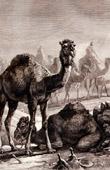 Mammals - Dromedary - Arabian camel (Camelus dromedarius)