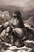Antique print - Marine Mammals - Walrus (Odobenus rosmarus)