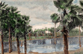 Cornauba Palm trees - Copernicia prunifera (Brazil)