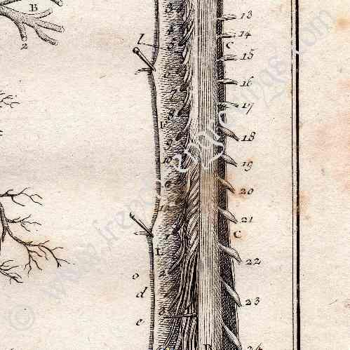 Gravures anciennes m decine anatomie 1779 veine for Anatomie du meuble