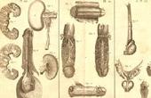 Médecine - Anatomie - 1779 - Pénis - Verge