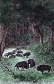 Büffelen in la Bela-Vejawald (Litauen)
