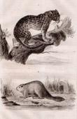 Ocelot - Beaver (United States of America)