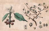 Botany - Coffee of the Arabian Peninsula