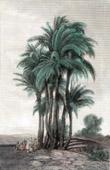 Stich von Palmen (Ägypten)