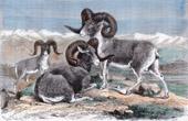 Animals - Argali - Ovis Ammon Karelini - Ovis ammon Polii - Central Asia (China - Tajikistan)