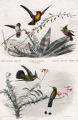 Animals - Birds - Hummingbird - Colibris (America)