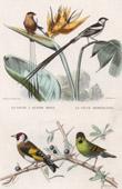 Animaux - Oiseaux - Chardonneret - Passereaux - Veuve dominicaine