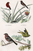 Animals - Birds - Verdier - Chaffinch - Passerines
