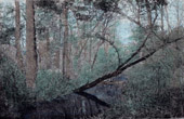 Landscape of Great Dismal Swamp - North Carolina - Virginia (United States of America)