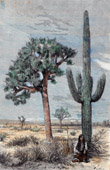 Landscape of Arizona (United States of America) - Cactus - Yucca - Vegetation