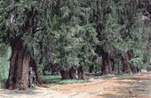 Cupressus Forest in Chapultepec (Mexico)
