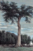 Ceiba - Tree - South America - Blessed - Mexico
