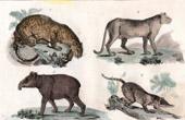 Jaguar - Puma - Cougar - Tapir