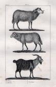 Sheep - Goat - Capra aegagrus - Bovids - Mammals