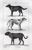 Dogs - Canidae - Mammals - Canis familiaris