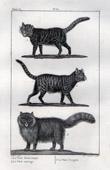 Cats - Felids - Mammals - Domestic cat - Turkish Angora