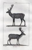 Stag - Fallow Deer - Cervidae - Mammals