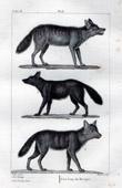 Wolfs - Wild - Canidae - Mammals