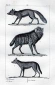 Red fox - Jackal - Canidae - Hyena - Hyaenidae - Mammals