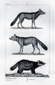 Jackal - Arctic fox - Canidae - European badger - Mustelidae - Mammals