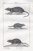 Rat - Common Vole - Perchal Rat - Muridae - Rodents - Mammals