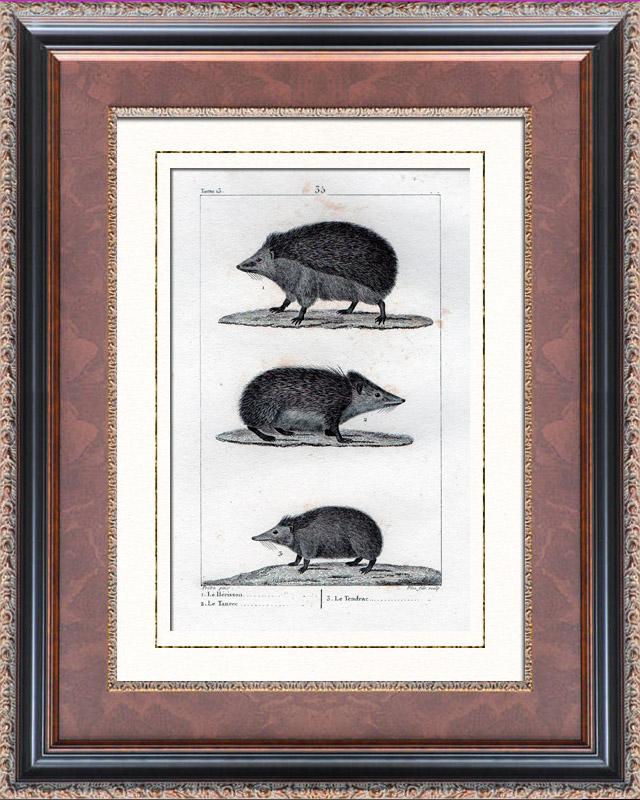 Stampe Antiche & Disegni   Riccio - Tenrec - Tendrac - Tenrecidae - Mammiferi  - Insettivori   Stampa calcografica   1830