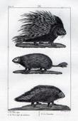 Porcupine - Hystrix cristata - Porcupine of Malaga - Coendou - Mammals - Rodents