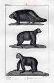 Canadian Porcupine - Choloepus - Two-toed sloth - Sloth - Rodents - Mammals