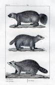 Wolverine - Carcajou - Gulo gulo - Mammals - Carnivores - Mustelids