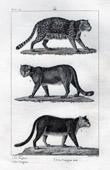 Jaguar - Puma - Cougar - Felids - Mammals - Carnivores