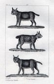 Lynx - Caracal - Felidae - Mammals - Carnivores