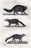African Civet - Ginet - Malagasy Civet - Mammals - Carnivores