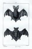 Bat - Chiroptera - Spotted bat - Lesser Noctule - Mammals