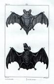 Bats - Chiroptera - Barbastelle - Fer de lance - Artibeus jamaicensis - Mammals