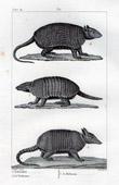 Armadillos - Lencoubert - Cachicame - Kabassou - Mammals