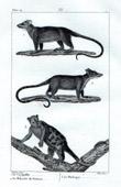 Possum - Cayopollin - Philandre de Surinam - Phalanger - Mammals - Marsupials