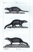 Mongoose - Vansire - Nems - Herpestidae - Mammals - Carnivores