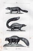 Coase - Conepate - Hog-nosed skunk - Chinche - Mephitidae - Mammals - Carnivores